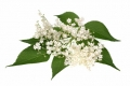 Holunderblüte - Aroma für E-Liquids - IW-TdM
