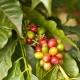 Kaffee Kona - Aroma für E-Liquids - TPA