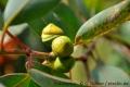 Eukalyptus mit Minze - Aroma für E-Liquids - IW